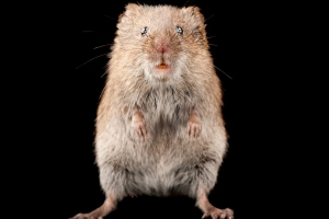 What Can Voles Tell Us About Ourselves?