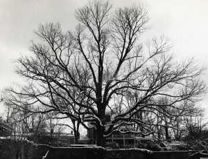 Gratitude for a Grand Old Tree